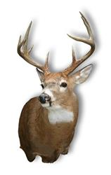 Click to view album: Whitetail Deer