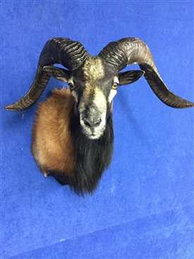 Sheep,Rams and Ibex