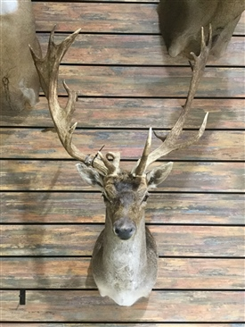 Fallow and Axis Deer